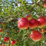矢板市のりんごドライフルーツ通販はこちら!所さんお届けモノです